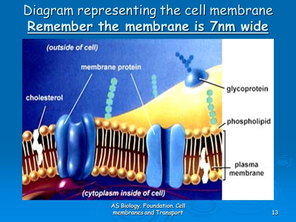 AS Biology. Foundation. Cell membranes and Transport