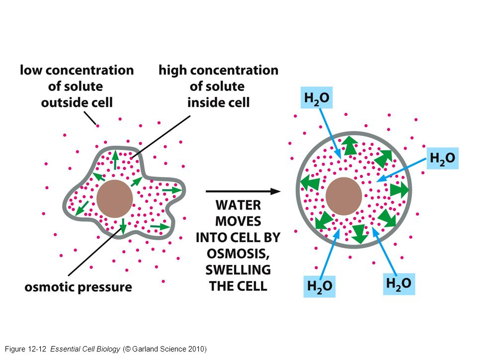 Figure 12-12 Essential Cell Biology (© Garland Science 2010)