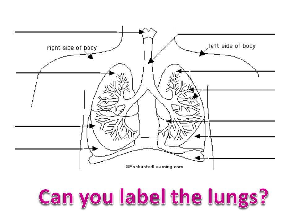 Can you label the lungs