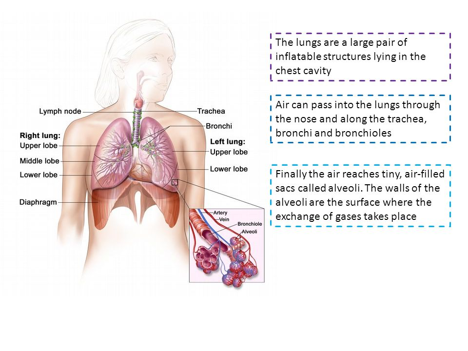 The lungs are a large pair of inflatable structures lying in the chest cavity