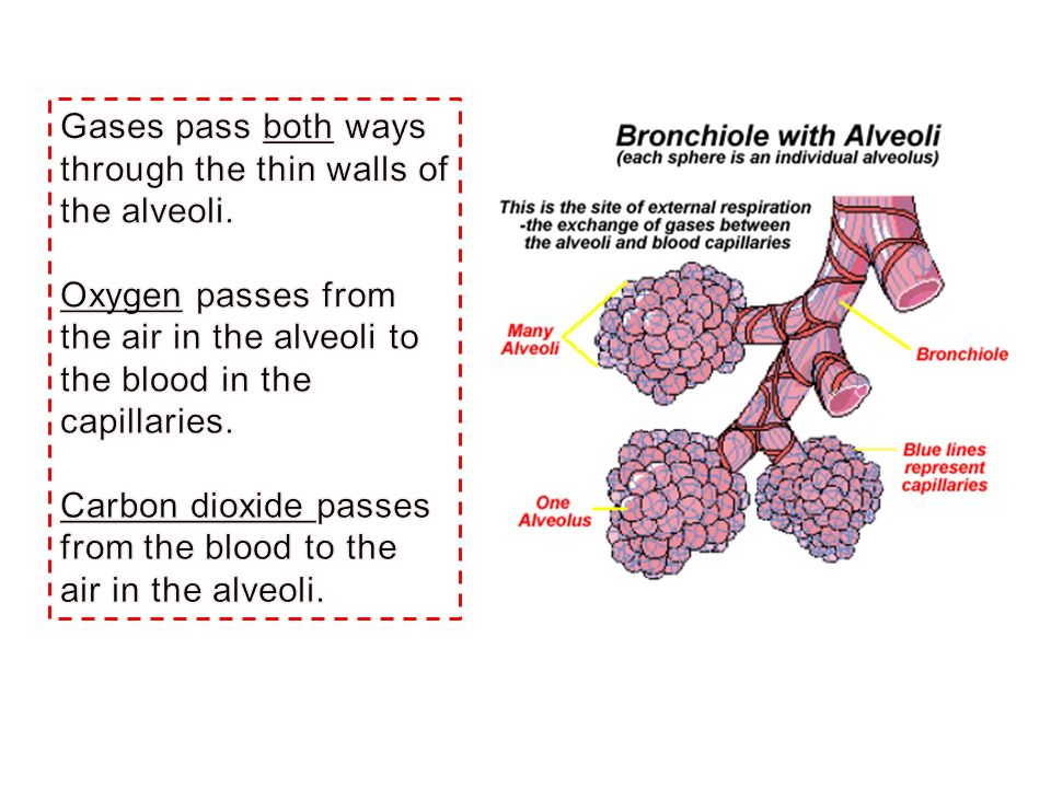 Gases pass both ways through the thin walls of the alveoli.