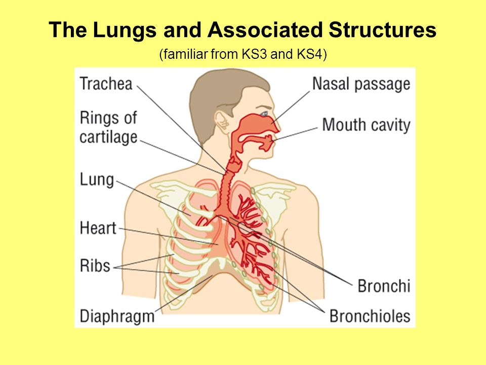 F211 exchange and transport lungs ppt video online download the lungs and associated structures ccuart Images
