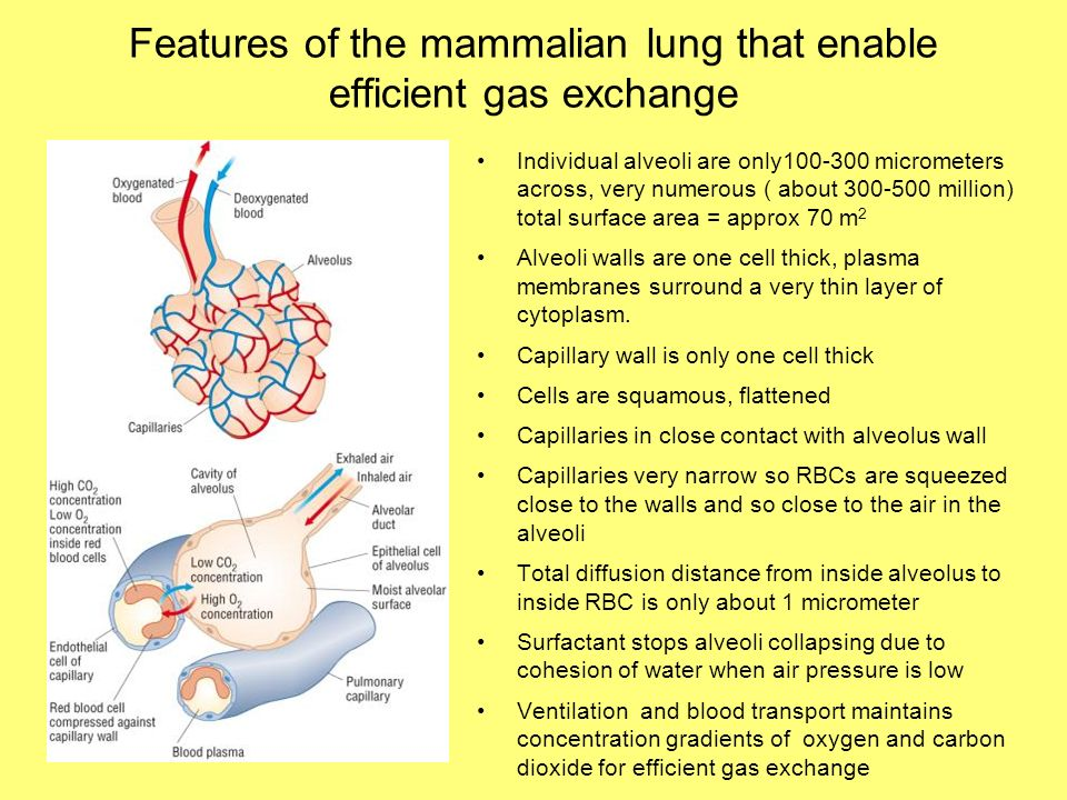 Features of the mammalian lung that enable efficient gas exchange