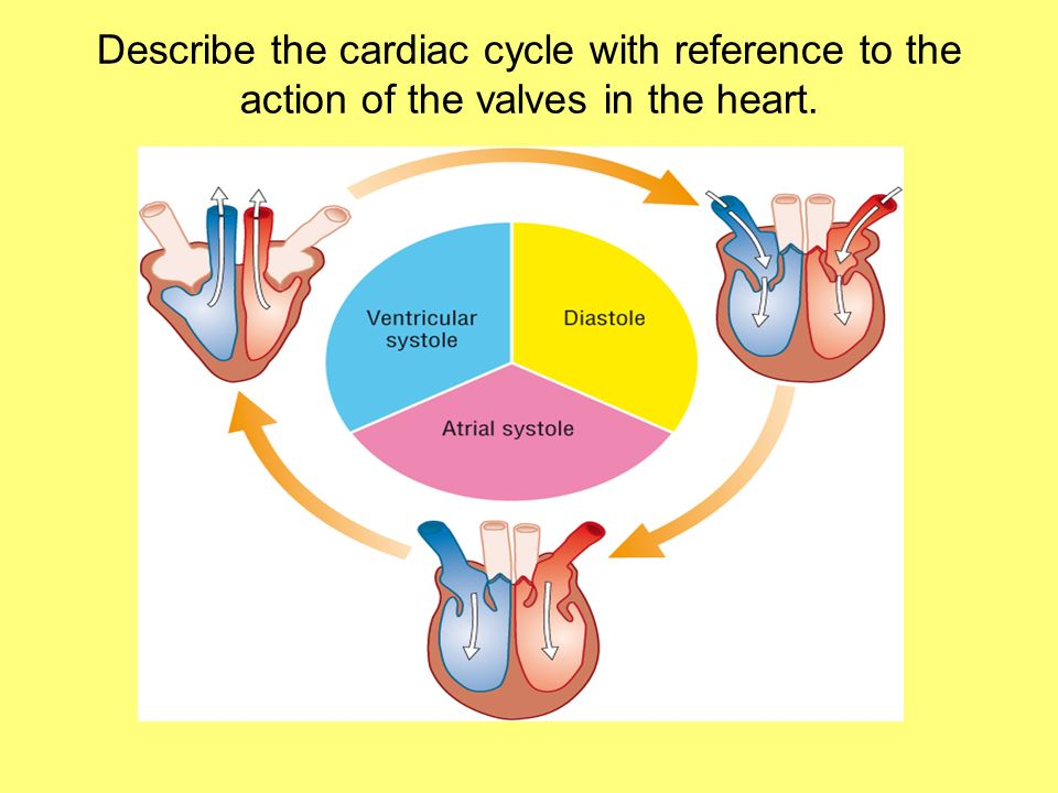 Describe the cardiac cycle with reference to the action of the valves in the heart.