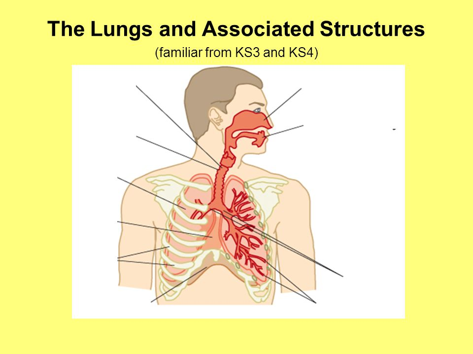 The Lungs and Associated Structures