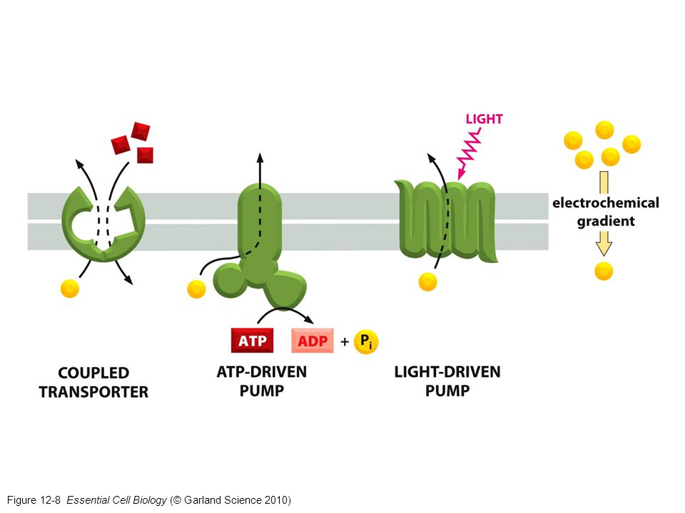 Figure 12-8 Essential Cell Biology (© Garland Science 2010)