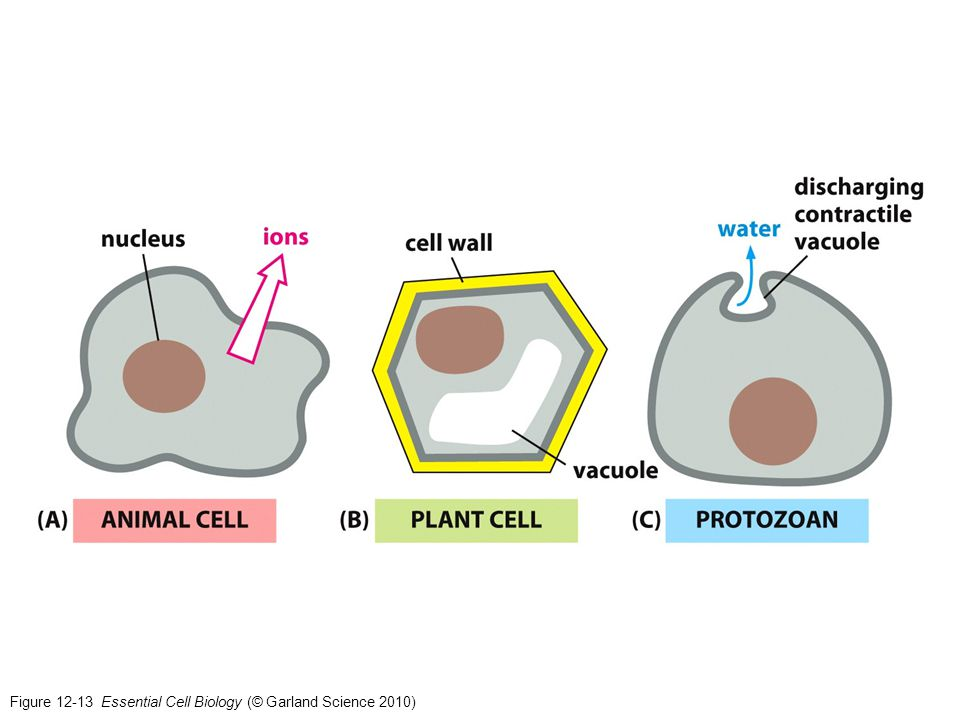 Figure 12-13 Essential Cell Biology (© Garland Science 2010)