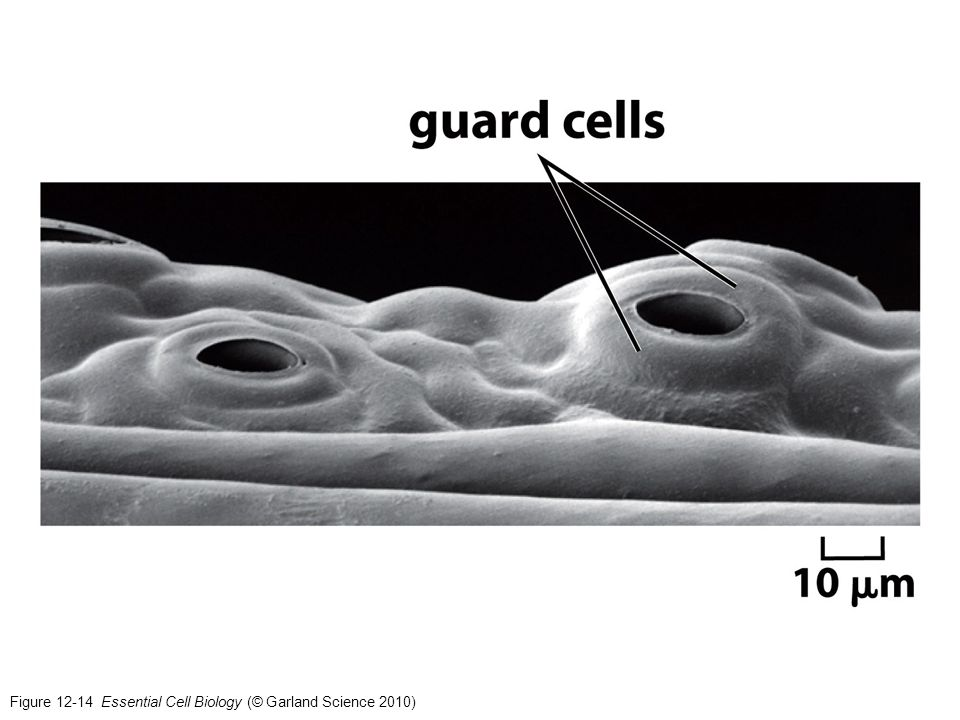 Figure 12-14 Essential Cell Biology (© Garland Science 2010)