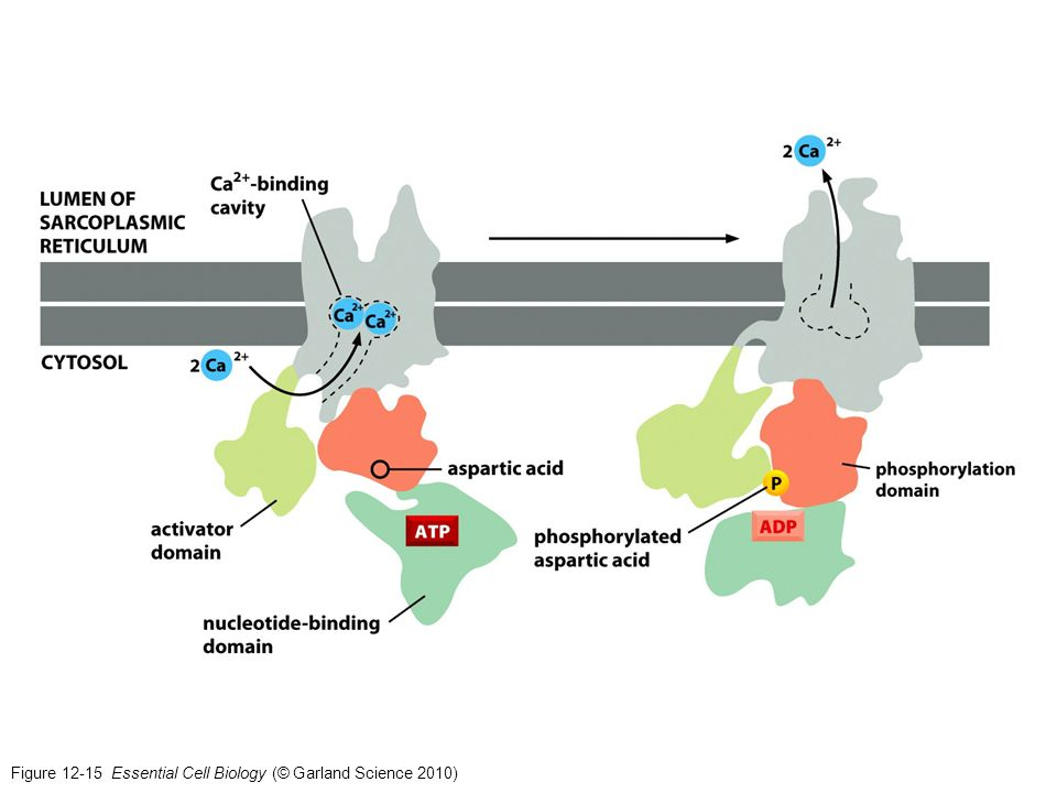 Figure 12-15 Essential Cell Biology (© Garland Science 2010)