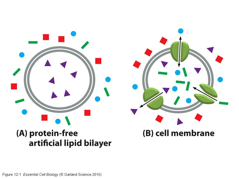 Figure 12-1 Essential Cell Biology (© Garland Science 2010)