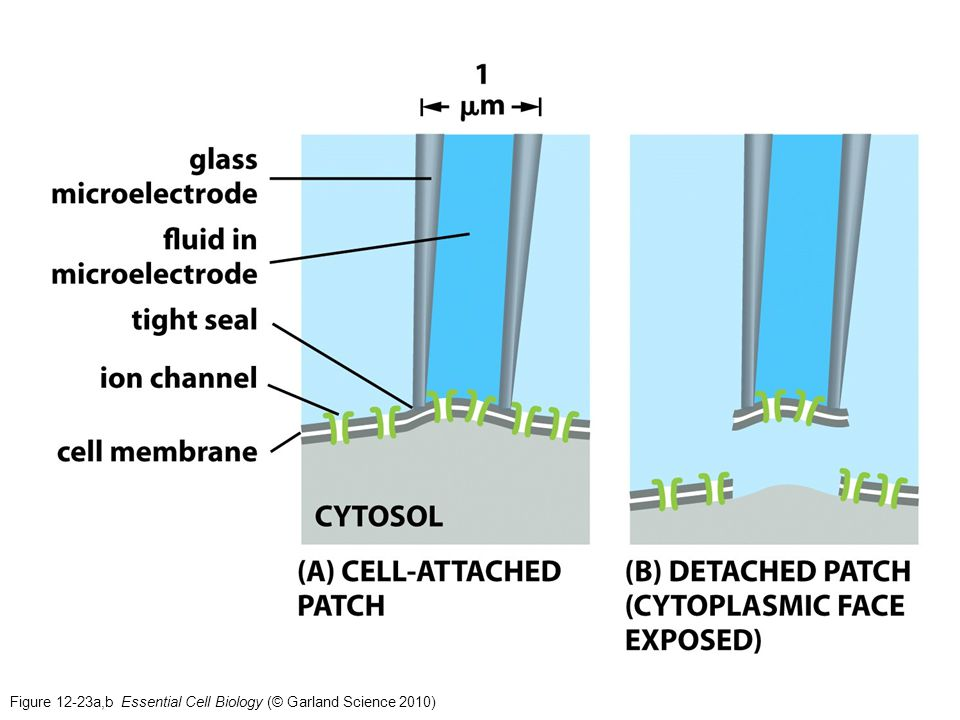 Figure 12-23a,b Essential Cell Biology (© Garland Science 2010)