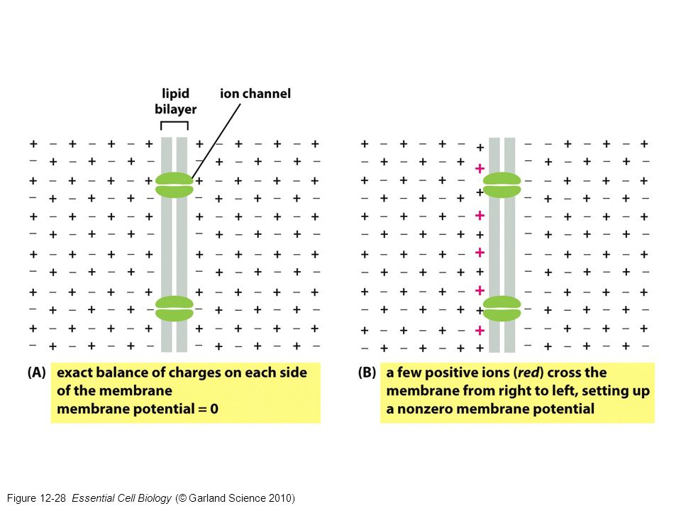 Figure 12-28 Essential Cell Biology (© Garland Science 2010)