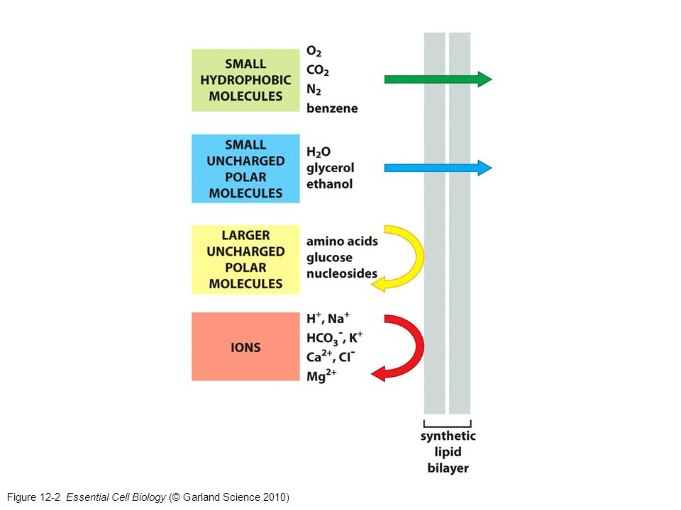 Figure 12-2 Essential Cell Biology (© Garland Science 2010)