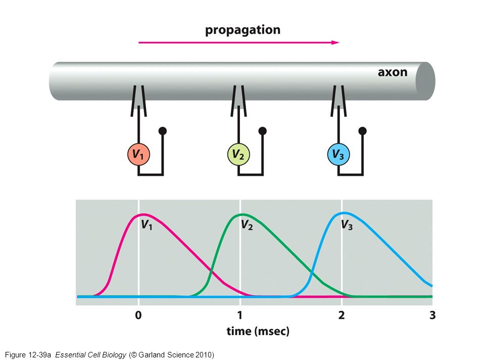 Figure 12-39a Essential Cell Biology (© Garland Science 2010)