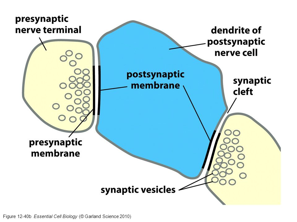 Figure 12-40b Essential Cell Biology (© Garland Science 2010)