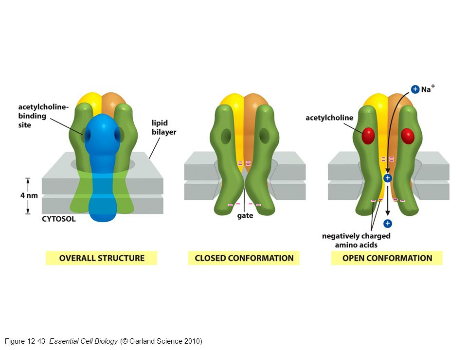 Figure 12-43 Essential Cell Biology (© Garland Science 2010)