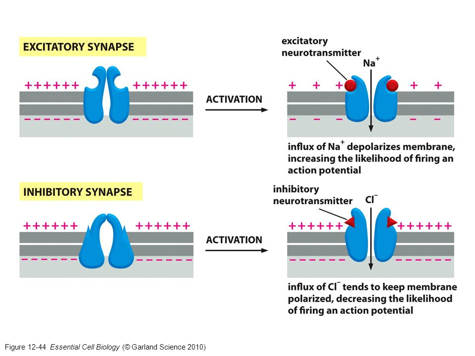 Figure 12-44 Essential Cell Biology (© Garland Science 2010)