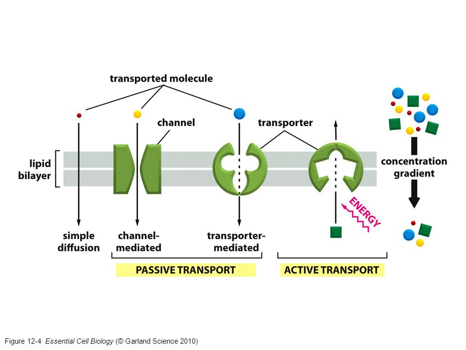 Figure 12-4 Essential Cell Biology (© Garland Science 2010)