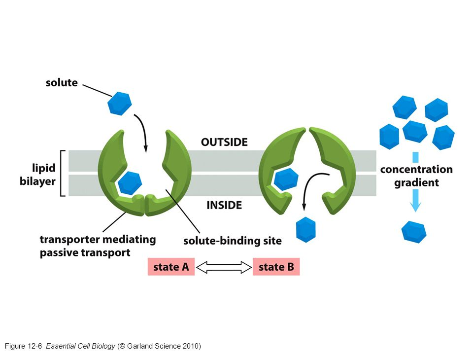 Figure 12-6 Essential Cell Biology (© Garland Science 2010)
