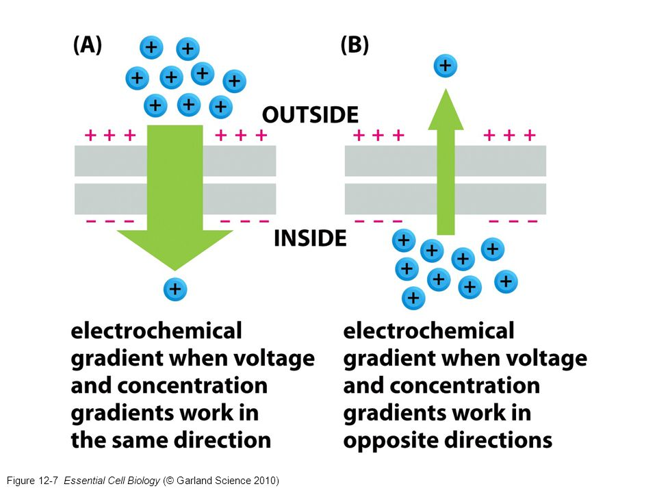 Figure 12-7 Essential Cell Biology (© Garland Science 2010)
