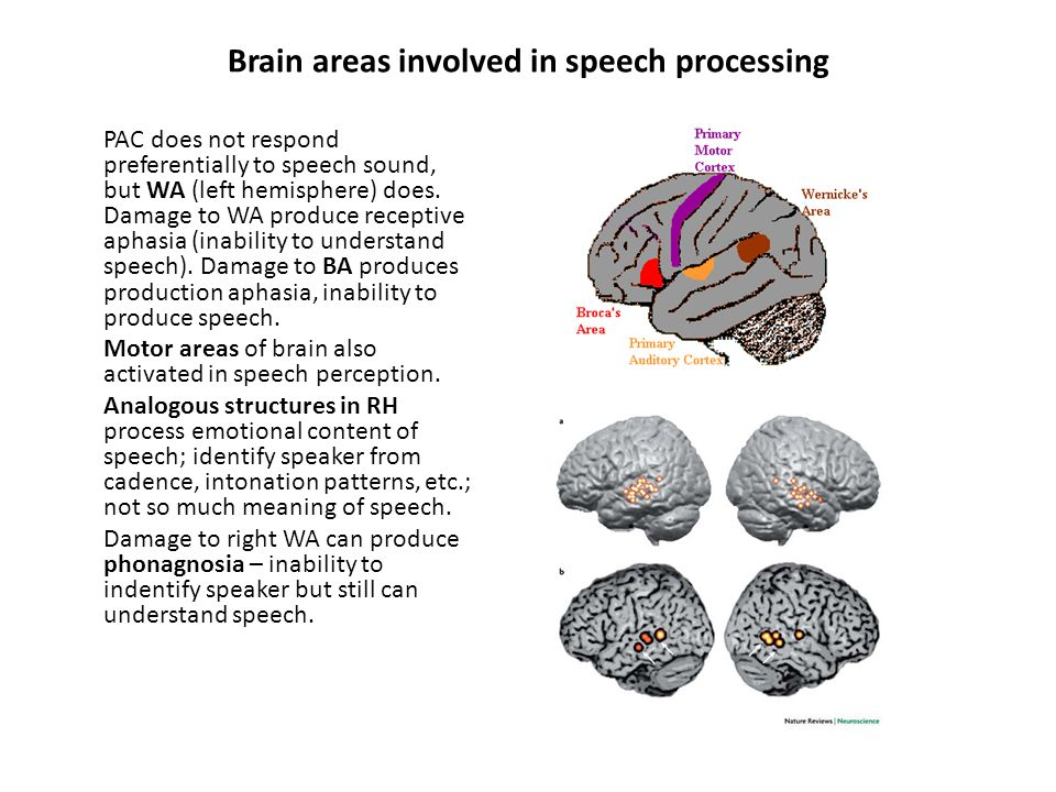 Brain areas involved in speech processing