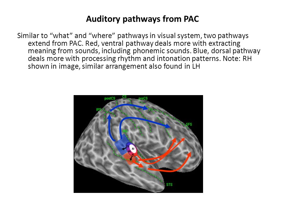 Auditory pathways from PAC