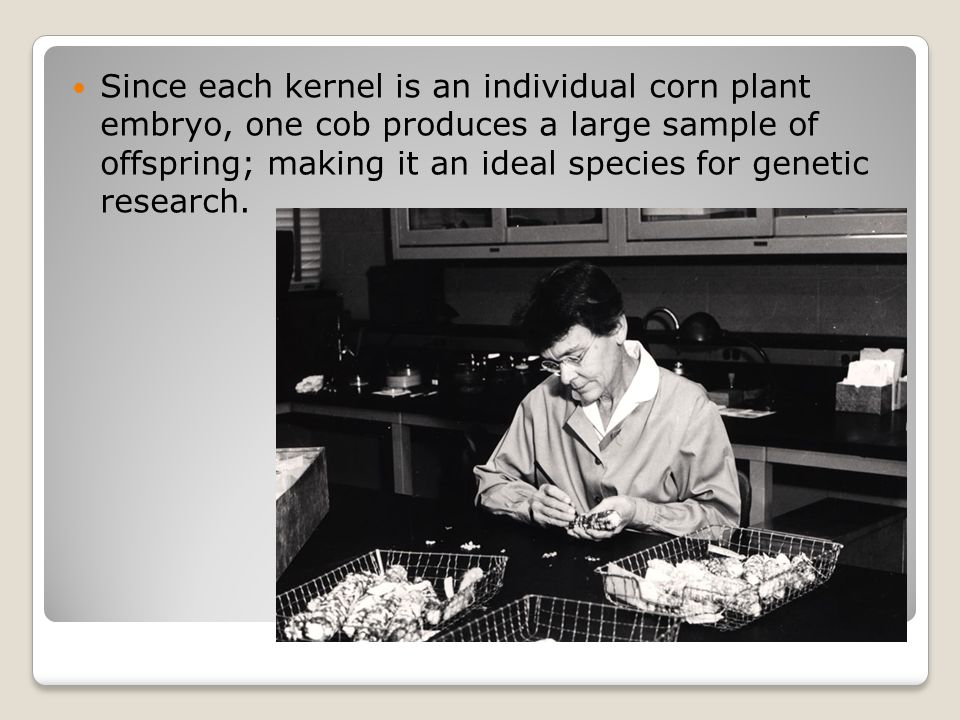 Since each kernel is an individual corn plant embryo, one cob produces a large sample of offspring; making it an ideal species for genetic research.
