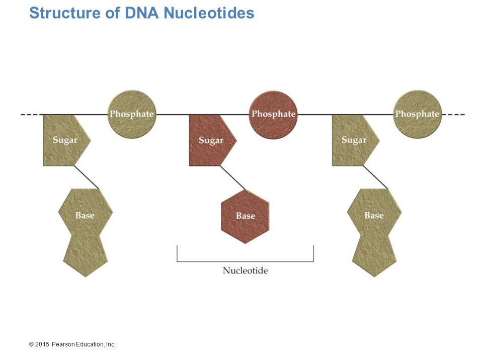 Structure of DNA Nucleotides