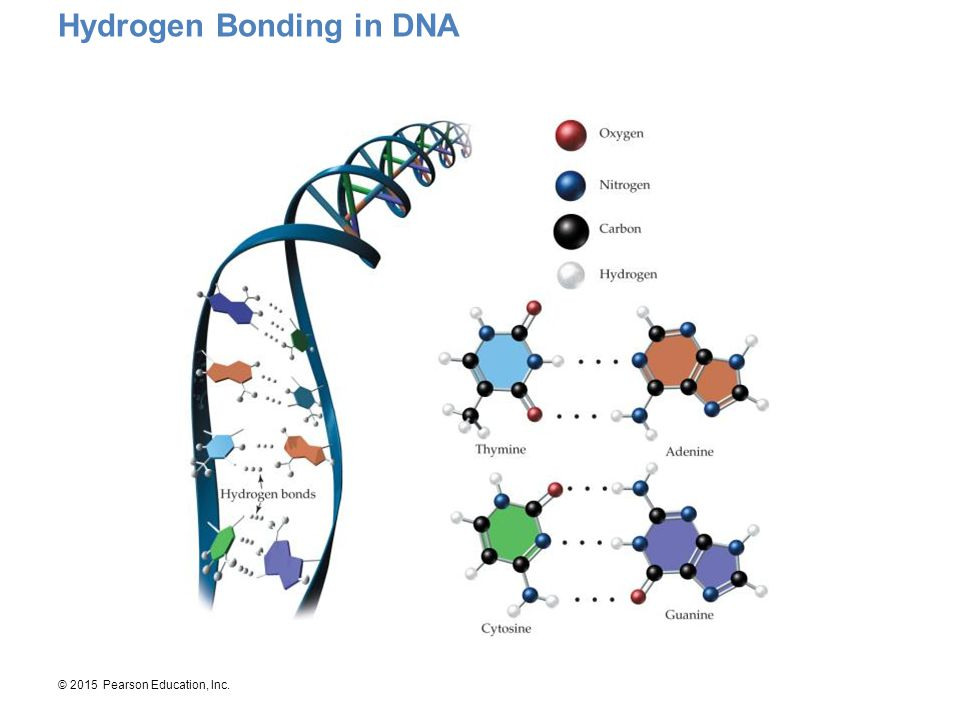 Hydrogen Bonding in DNA