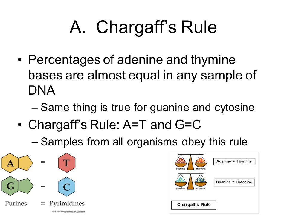 A. Chargaff's Rule Percentages of adenine and thymine bases are almost equal in any sample of DNA.