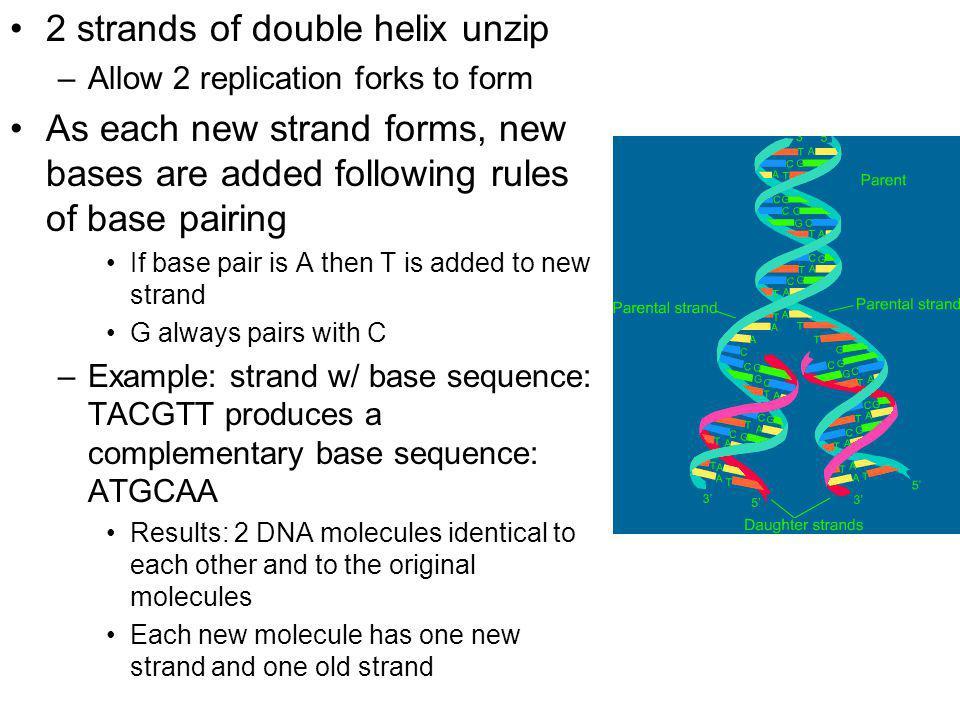 2 strands of double helix unzip