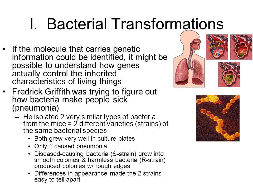 I. Bacterial Transformations