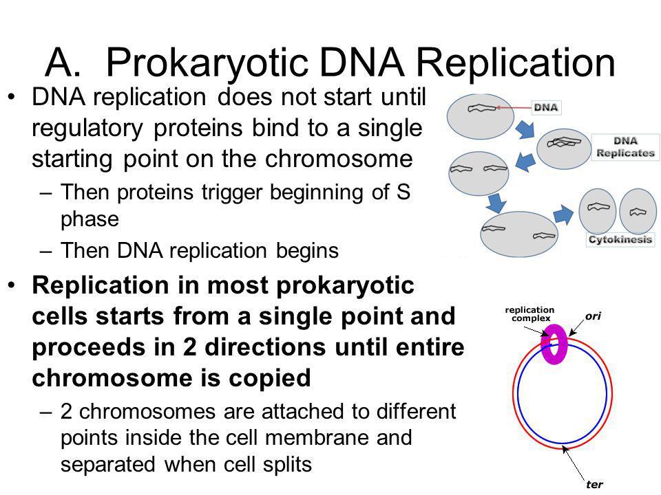A. Prokaryotic DNA Replication