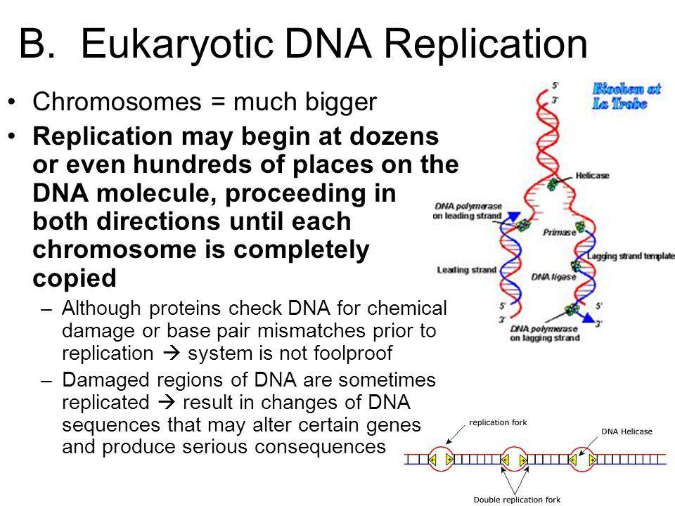 B. Eukaryotic DNA Replication