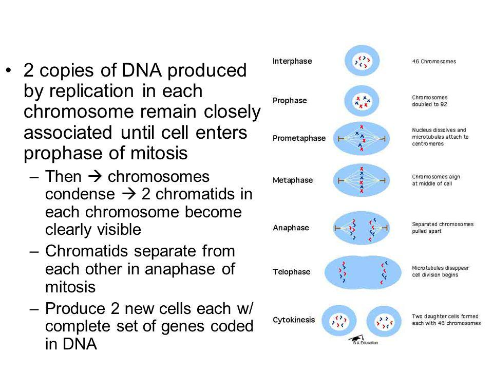 2 copies of DNA produced by replication in each chromosome remain closely associated until cell enters prophase of mitosis