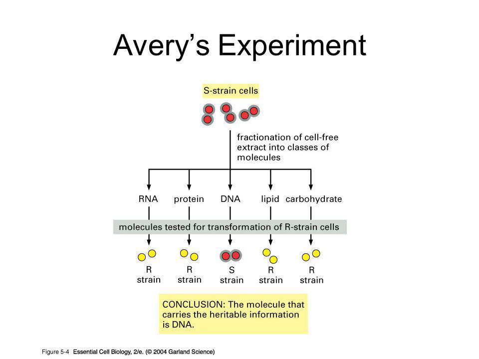 Avery's Experiment