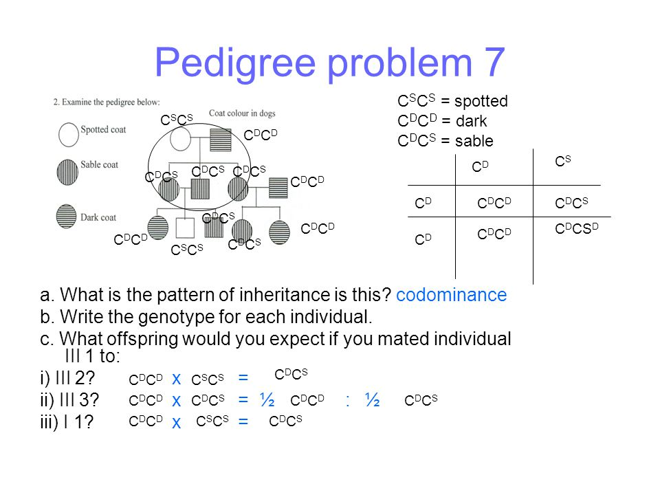 Pedigree problem 7 CSCS = spotted. CDCD = dark. CDCS = sable. CSCS. CDCD. CS. CD. CDCS. CDCS.