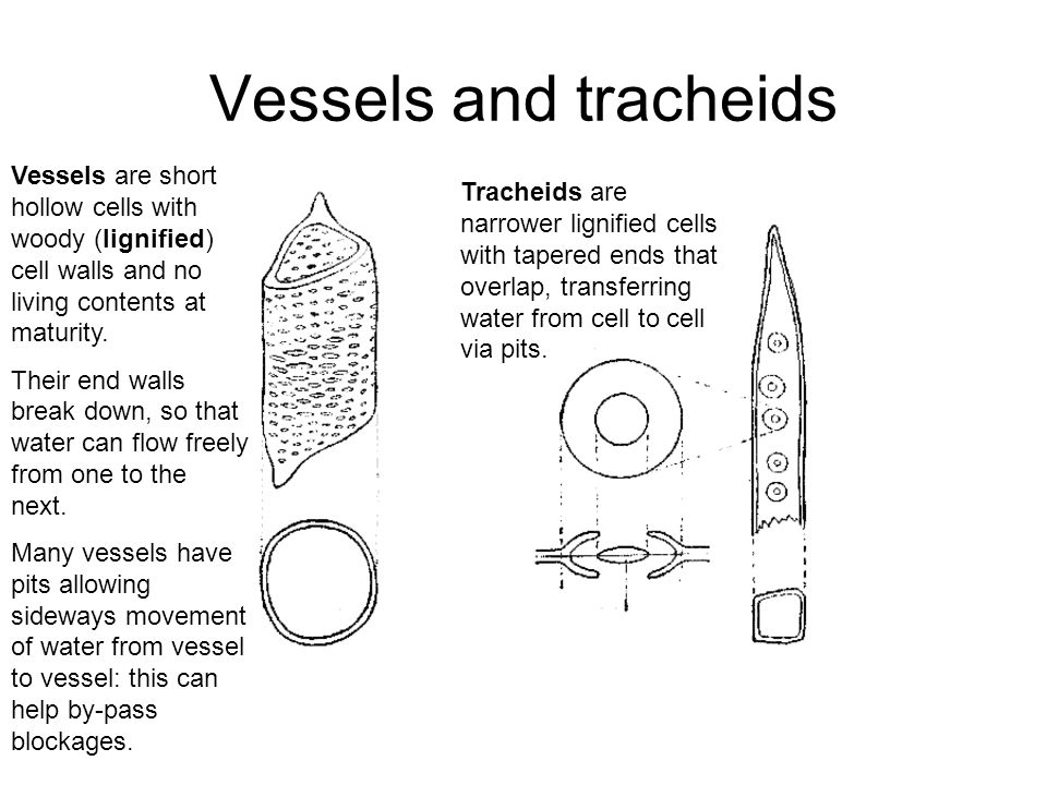 Vessels and tracheids Vessels are short hollow cells with woody (lignified) cell walls and no living contents at maturity.