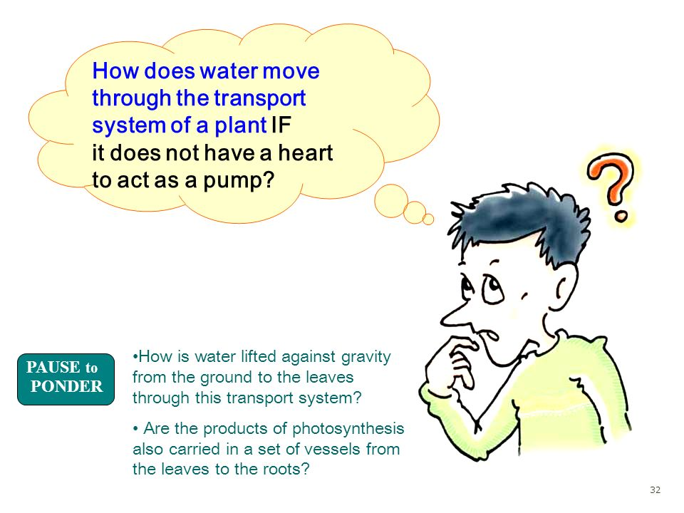 How does water move through the transport system of a plant IF