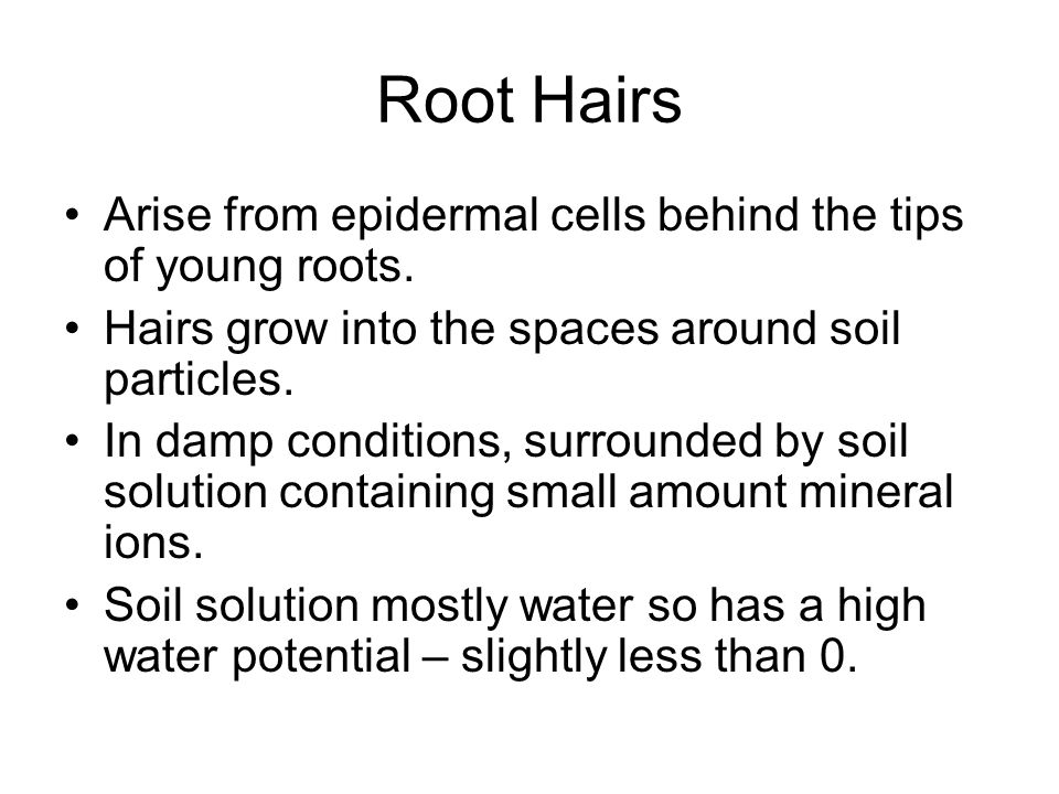 Root Hairs Arise from epidermal cells behind the tips of young roots.