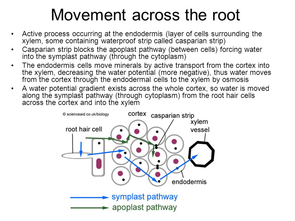 Movement across the root
