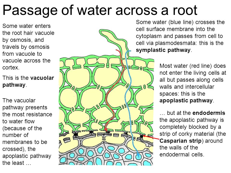 Passage of water across a root