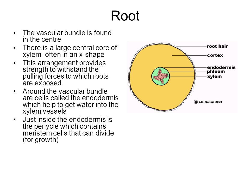 Root The vascular bundle is found in the centre