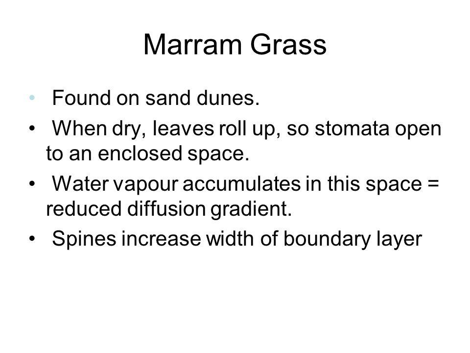 Marram Grass Found on sand dunes.