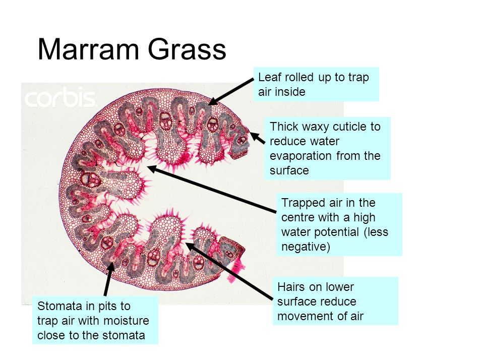 Marram Grass Leaf rolled up to trap air inside
