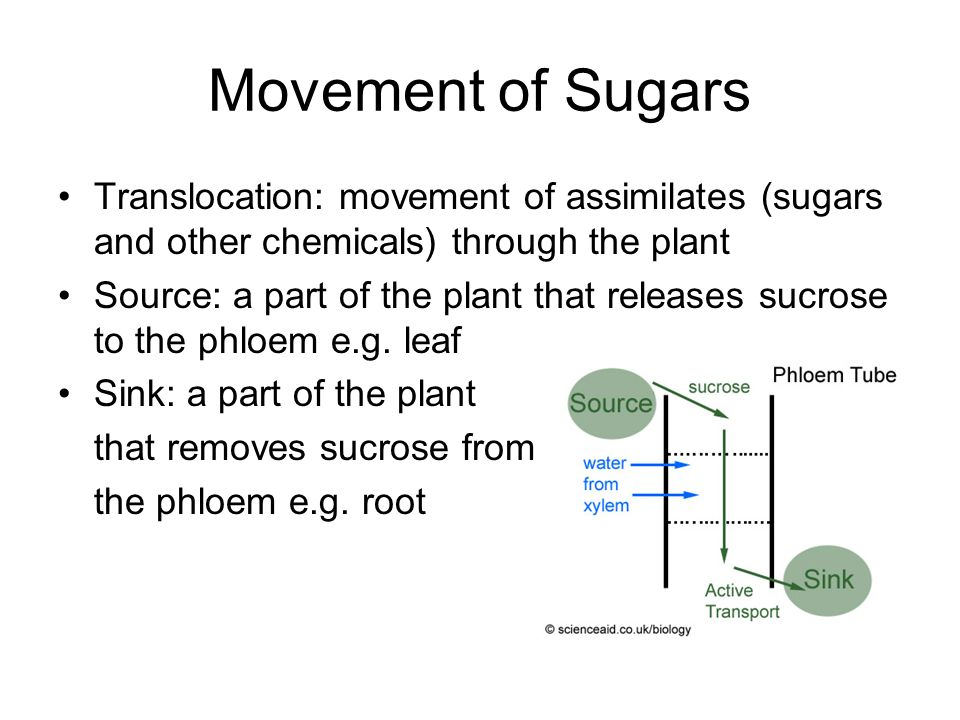 Movement of Sugars Translocation: movement of assimilates (sugars and other chemicals) through the plant.