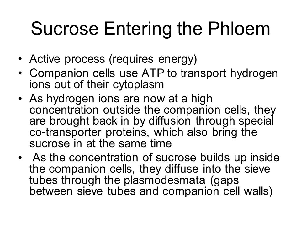 Sucrose Entering the Phloem