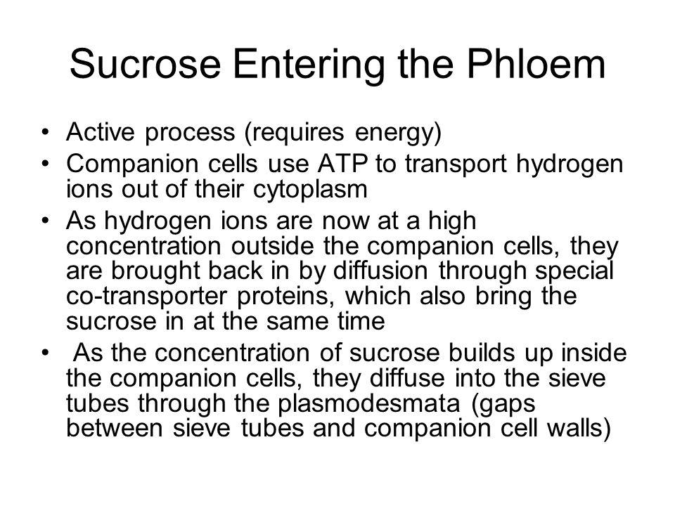 Sucrose Entering the Phloem