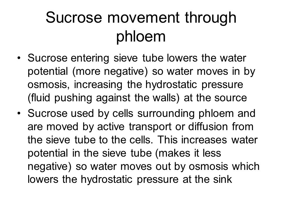 Sucrose movement through phloem
