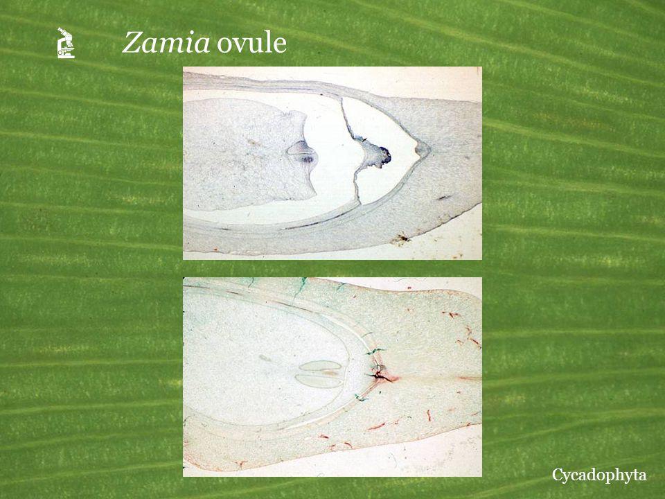 A Zamia ovule Cycadophyta